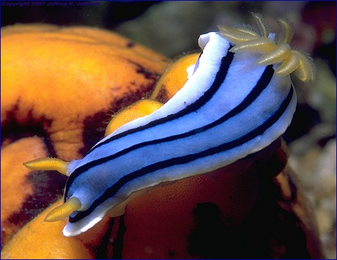 Chromodoris lochi