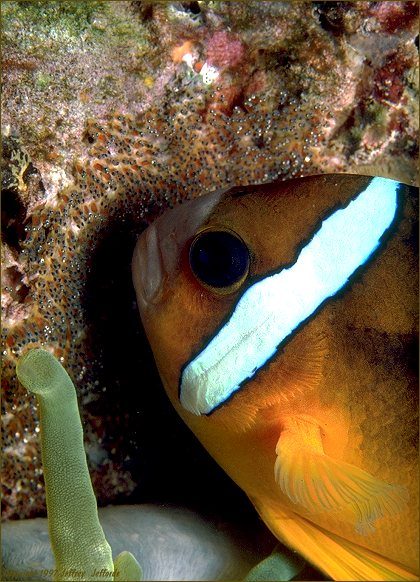 Clark's Anemonefish tending its nest