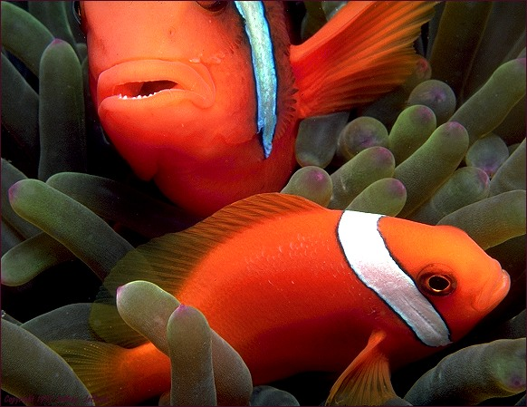 Pair of Tomato Anemonefish