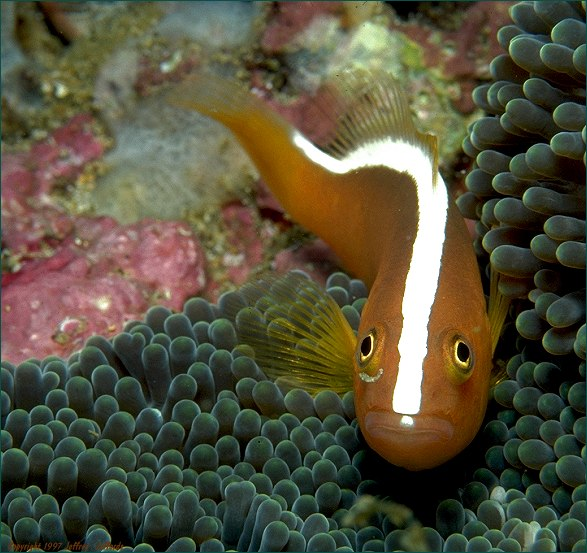 Orange Anemonefish, forward view