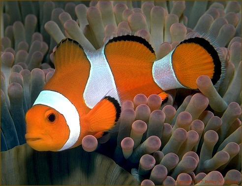 anemonefish with host anemone (#22A)
