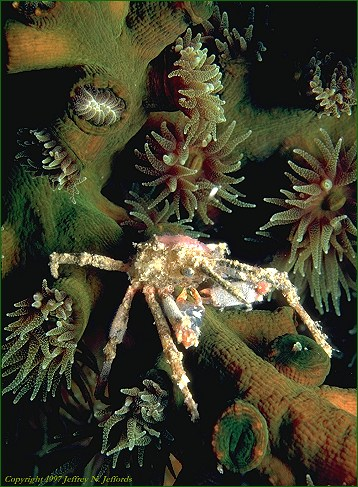 Crab inhabitant of a coral colony (photo 10A)