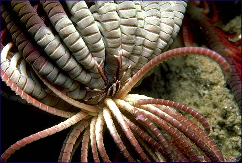 Crinoid (feather star) and squat lobster, Allogalathea elegans #1