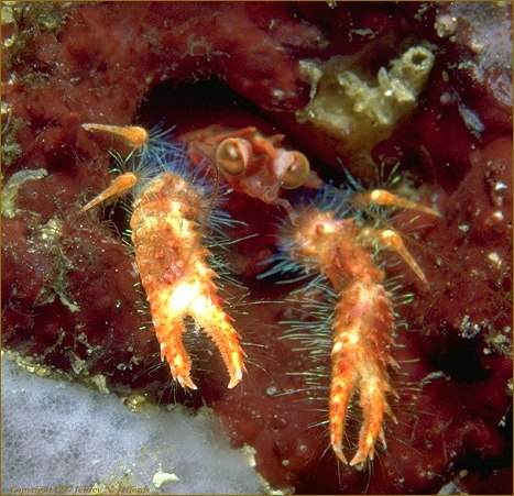 a tiny Squat Lobster peeks from its home in the reef (photo 9A)