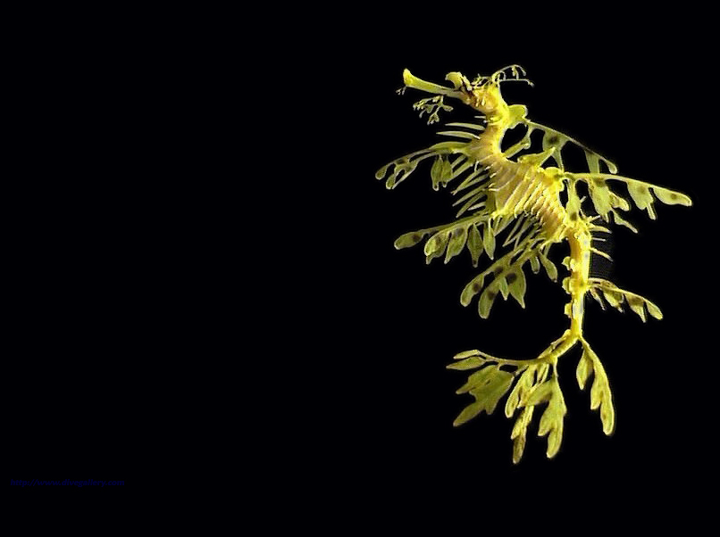 Desktop Wallpaper Dragon. Leafy Sea Dragon wallpaper #1,