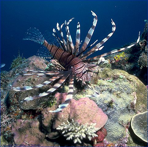 Lionfish on the prowl (#16A)