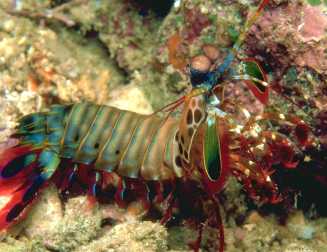 Mantis shrimp (118k]
