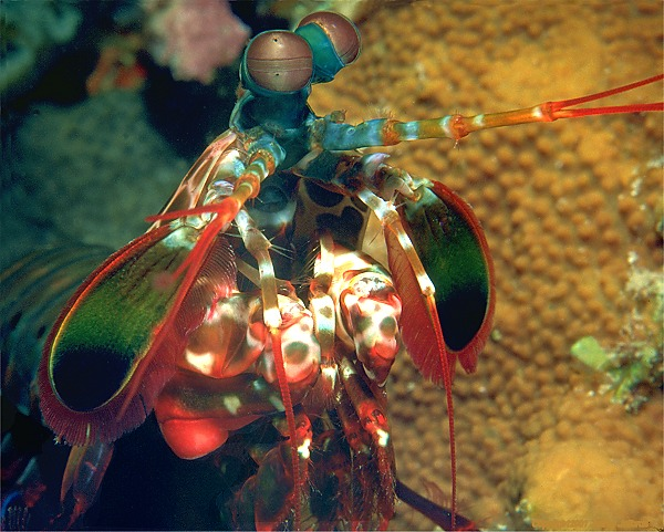 Mantis Shrimp, profile view [109k]
