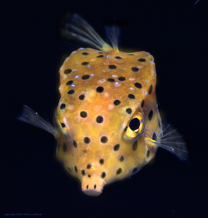 yellow boxfish [121K]