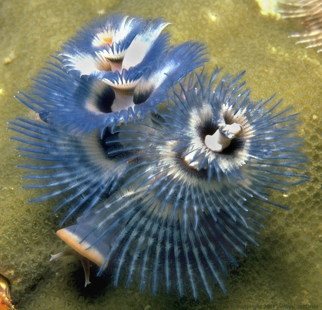Christmas tree worm, blue and white