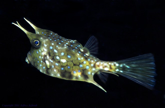 long-horned cowfish [35K]