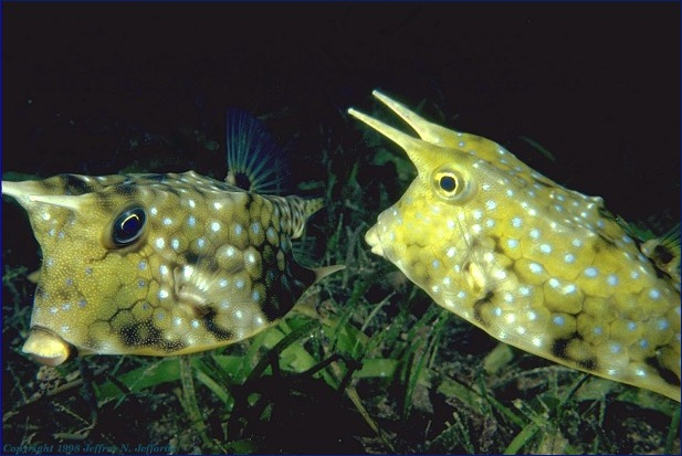 cowfish pair (added 15 Feb 99) [77K]