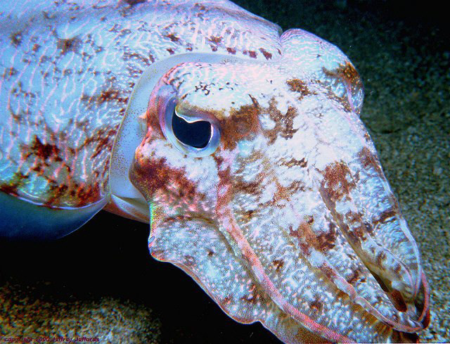 cuttlefish, as seen on a night dive [159k]
