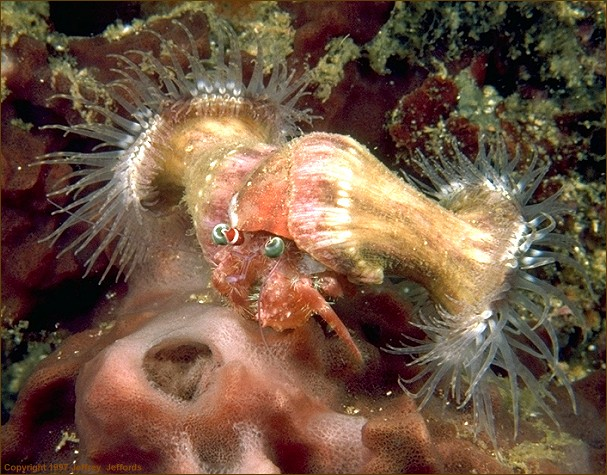 hermit crab with two sea anemones attached (#76, added 16 Apr '98, 107k)