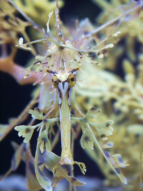 Leafy Sea Dragon front view [80K]