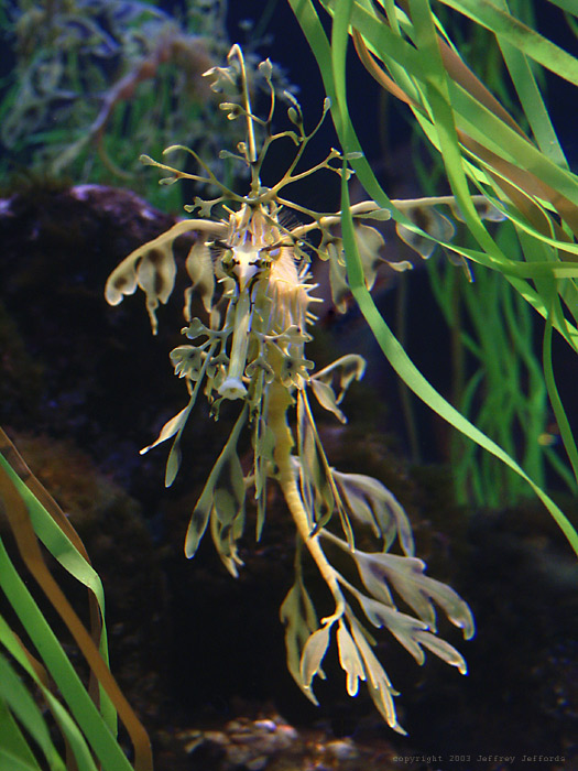 leafy sea dragon, front view #2  [140K]