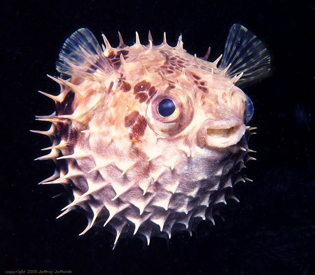 Porcupinefish cyclichthys orbicularis for Porcupine puffer fish
