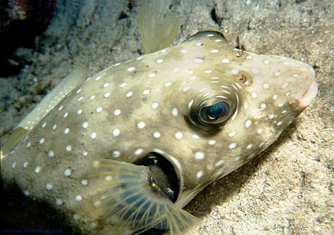 white-spotted puffer close-up [119K]