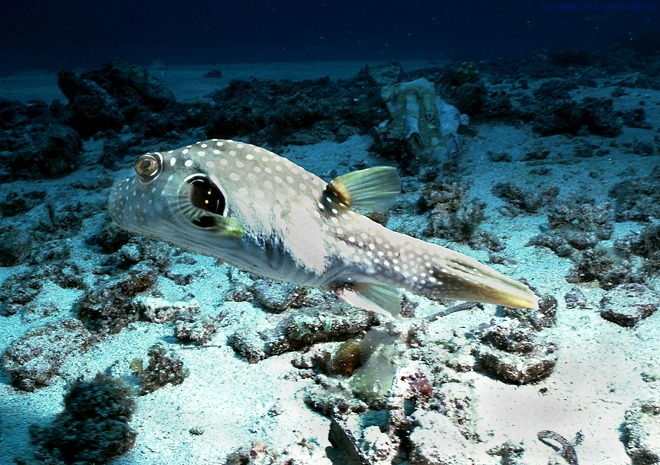 white-spotted pufferfish [130K]