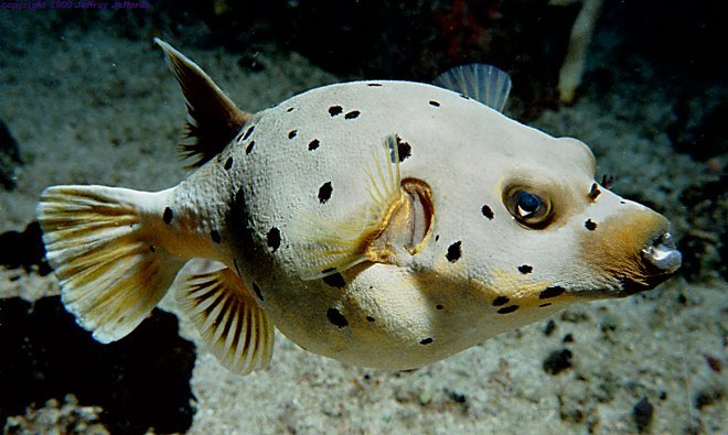 Black-spotted pufferfish [61k]