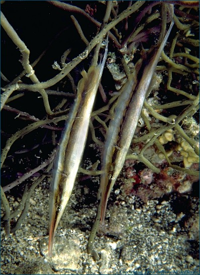 Pair of razorfish (or shrimpfish) added 14 Sept '98 [91K]