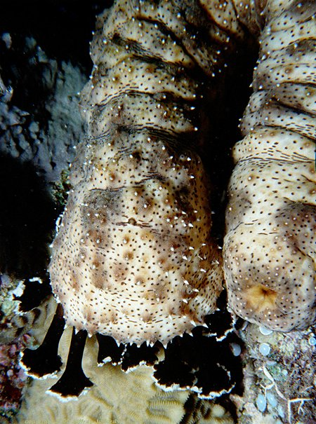 sea cucumber feeds on sandy bottom [92k] added 6 nov 00