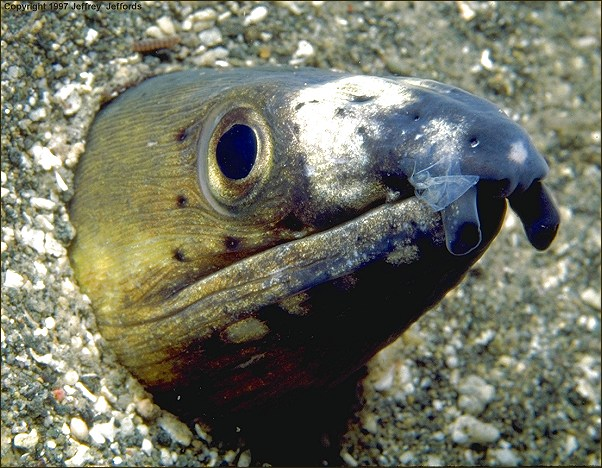 snake eel #4 (#58A, added 12 Jan '98)