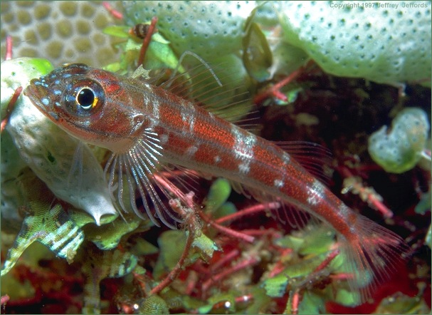 triplefin (#50A, added 8 Jan '98)